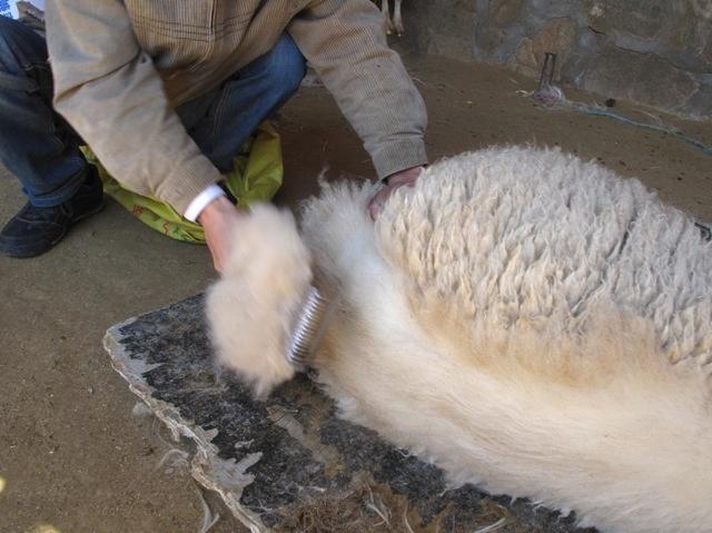 recolte laine cachemire