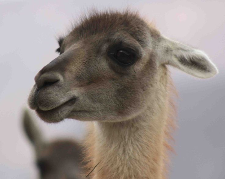 guanaco informations animal et laine