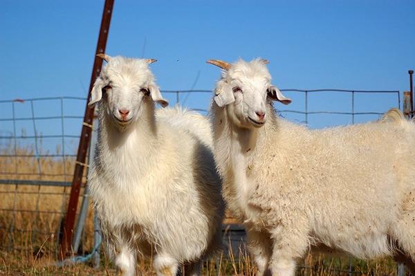histoire laine cachemire