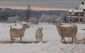 chevre laine cachemire