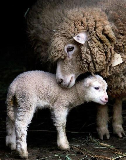 difference laine vierge laine agneau