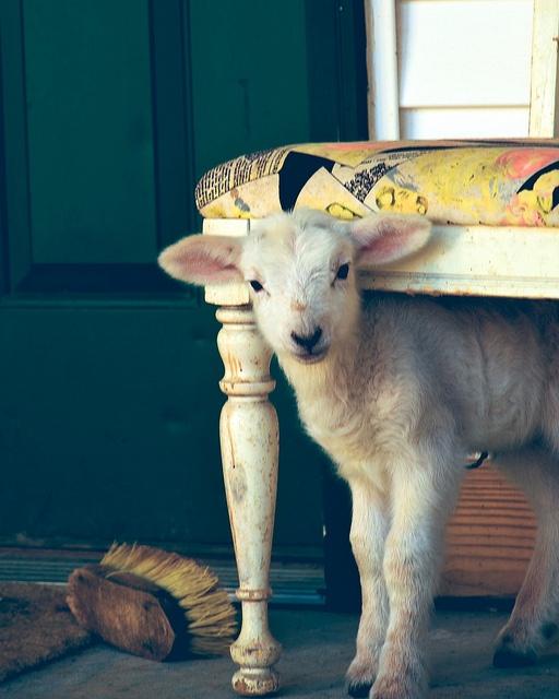 laine agneau entretien
