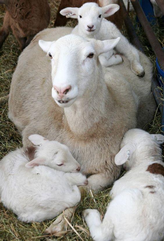 laine bebe agneau