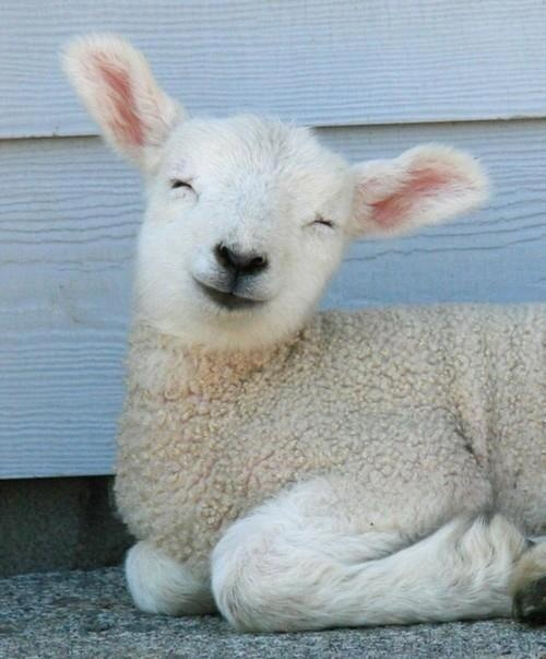 lambswool definition