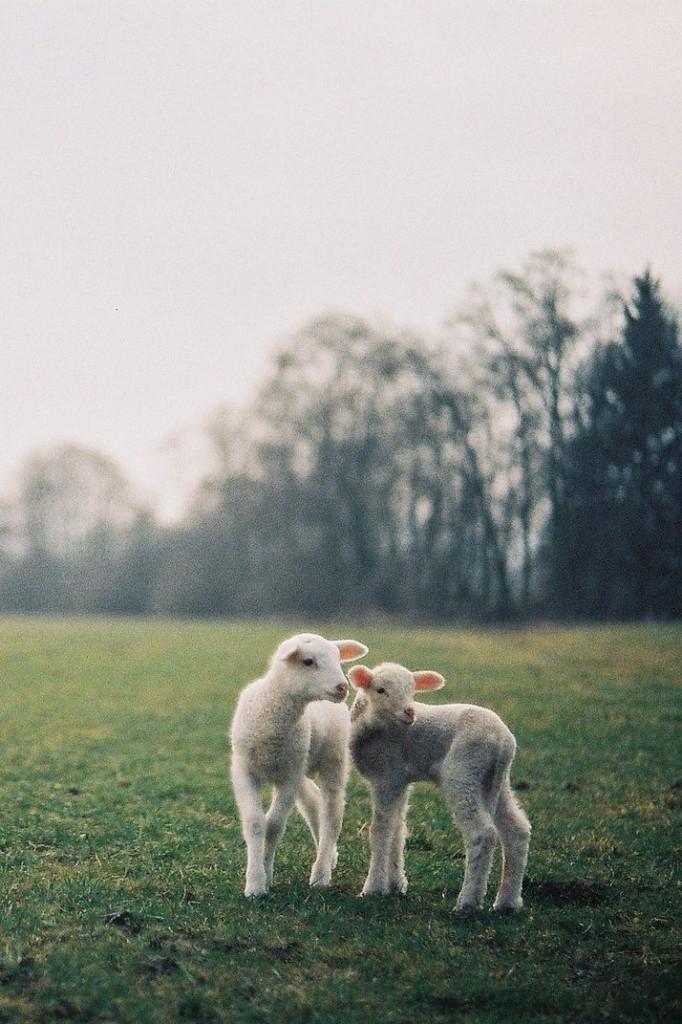 lambswool laine d agneau