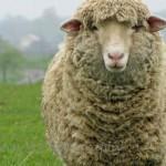 histoire origine laine mouton
