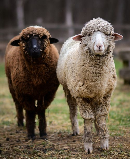Que faire avec de la laine de mouton