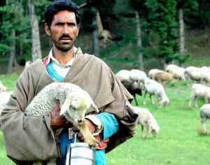 cashmere goat breeding